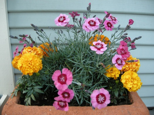 A little bit of a cheat: a pot of dianthus and marigolds.