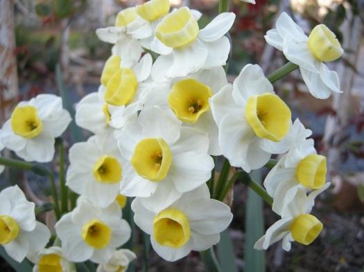 'Grand Primo' Narcissus