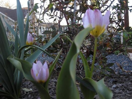 TulipStem
