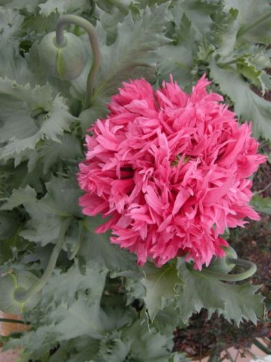 Papaver somniferum var. paeoniflorum